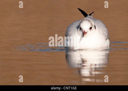 An adult black-headed gull (Larus ridibundus) in winter plumage swimming in a pool at Salthouse, Norfolk. February. - Stock Photo