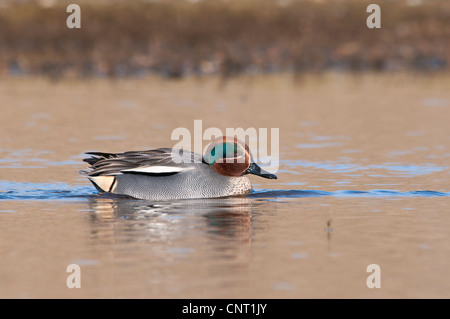 An adult male teal (Anas crecca) swimming in a pool at Salthouse, Norfolk. February. - Stock Photo