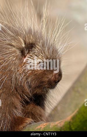 North American porcupine (Erethizon dorsatum), portrait - Stock Photo