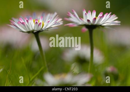 common daisy, lawn daisy, English daisy (Bellis perennis), flowers, Germany, North Rhine-Westphalia - Stock Photo