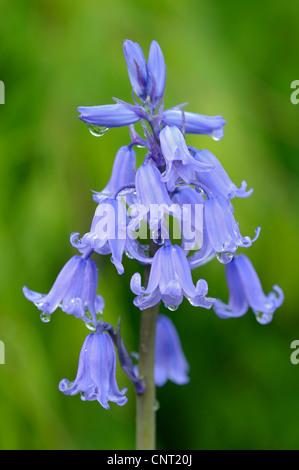Hybrid Bluebell (Hyacinthoides x massartiana, Hyacinthoides x variabilis, Hyacinthoides hispanica x Hyacinthoides - Stock Photo