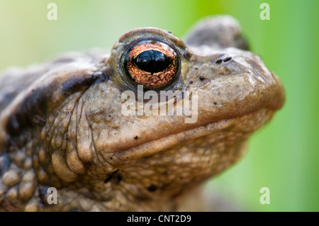Aclose up of th ehead of an adult common toad (Bufo bufo) in Lesnes Abbey Woods, Bexley, Kent. March. - Stock Photo