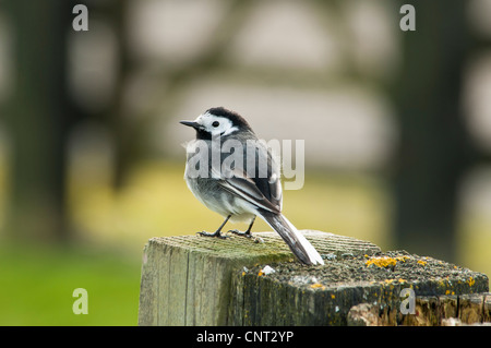 A pied wagtail (Motacilla alba) perched on a wooden gatepost at Elmley Marshes National Nature Reserve on the Isle - Stock Photo