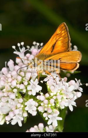 Large skipper (Ochlodes venatus, Ochlodes venata, Ochlodes sylvanus), male searching nectar, Germany - Stock Photo