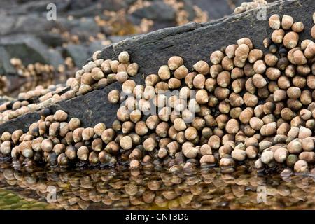 common periwinkle, common winkle, edible winkle (Littorina littorea), at low tide on rock, rocky tideland - Stock Photo