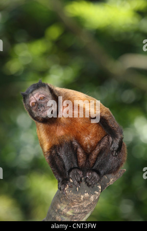 Black-Capped Capuchin, Brown-Capuchin Monkey (Cebus apella), sits on branch - Stock Photo