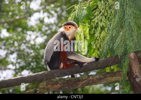 red-shanked douc langur, dove langur (Pygathrix nemaeus), on branch - Stock Photo