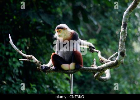 red-shanked douc langur, dove langur (Pygathrix nemaeus), single individual on branch, Vietnam - Stock Photo