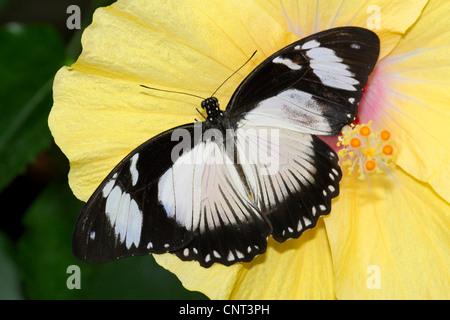 Usambara Diadem (Hypolimnas usambara), on Rose mallow - Stock Photo