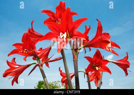 amaryllis (Hippeastrum spec.), red flowers in front of blue sky, Spain - Stock Photo