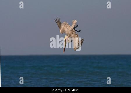 brown pelican (Pelecanus occidentalis), nose-diving for fish in the sea, Mexico, Golf von Kalifonien, Puerto Penasco - Stock Photo