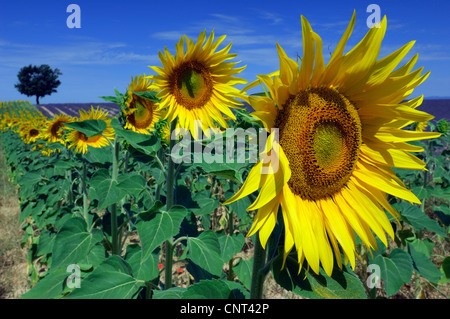 common sunflower (Helianthus annuus), sunflower field in summer, France, Provence, Vaucluse - Stock Photo