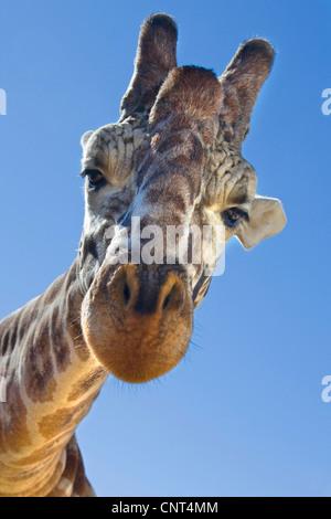 giraffe (Giraffa camelopardalis), portrait, from below - Stock Photo