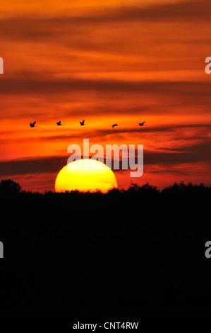 common crane (Grus grus), flying group over the rising sun, Germany, Mecklenburg-Western Pomerania - Stock Photo