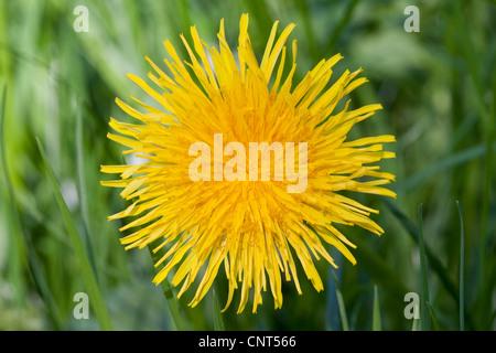 common dandelion (Taraxacum officinale), blooming, Europe - Stock Photo