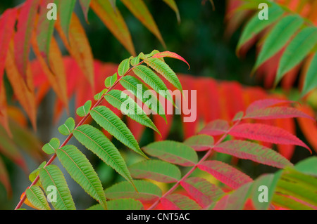 staghorn sumach, stag's horn sumach (Rhus hirta, Rhus typhina), leaves with autumn colours - Stock Photo