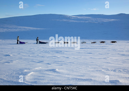 domestic dog (Canis lupus f. familiaris), dog sled with 14 dogs in snow landscape, Norway, Dovrefjell Sunndalsfjella - Stock Photo