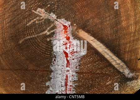 Norway spruce (Picea abies), resin at a log - Stock Photo