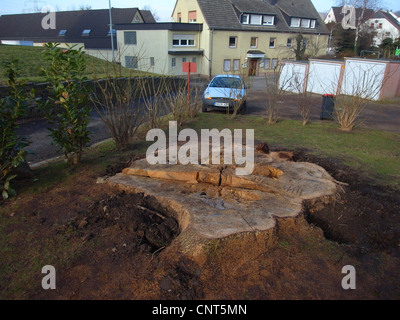 common oak, pedunculate oak, English oak (Quercus robur), tree stub of an old individual in a village, Germany, - Stock Photo