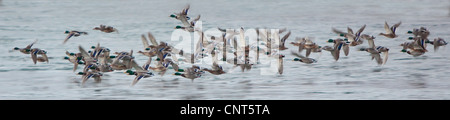 mallard (Anas platyrhynchos), about 60 individuals flying over flock of water, Norway - Stock Photo