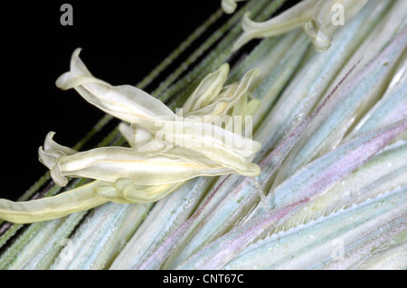 cultivated rye (Secale cereale), ear with blossoms with stamens - Stock Photo