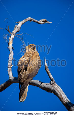wedge-tailed eagle (Aquila audax), sitting on a dead tree, Australia, Northern Territory, West MacDonnell National - Stock Photo