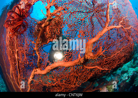 Red sea fan (Melithaea sp) with diver peering through with torch, Susan's reef, Kimbe Bay, Papua New Guinea. - Stock Photo