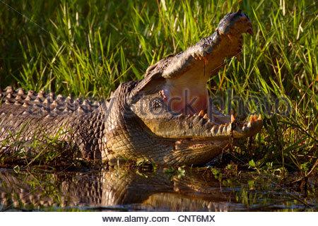 saltwater crocodile, estuarine crocodile (Crocodylus porosus), big Saltwater Crocodile lying at shore of a swamp - Stock Photo