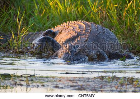 saltwater crocodile, estuarine crocodile (Crocodylus porosus), big Saltwater Crocodile lying in wait for prey in - Stock Photo