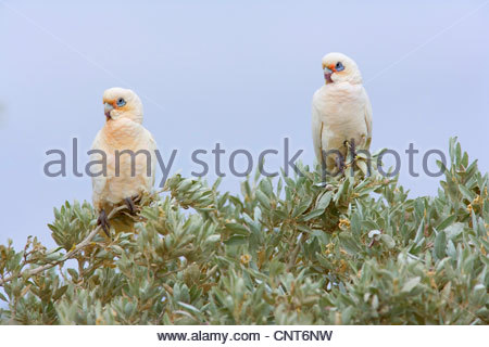 little corella (Cacatua sanguinea), two Little Corellas sitting on a bush at a beach , Australia, Western Australia, - Stock Photo