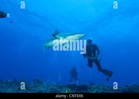 Gray reef shark (Carcharhinus amblyrhynchos) with divers, Inglis Shoal, Kimbe Bay, Papua New Guinea. - Stock Photo