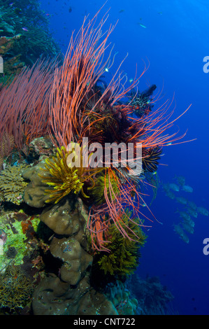 A colony of red whip fan corals (Ctenocella sp.) with yellow and black crinoids, South Emma Reef, Kimbe Bay, Papua - Stock Photo