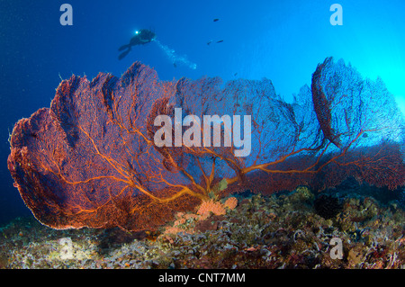 A diver looks on at large gorgonian sea fans (Subergorgia sp.), Solomon Islands. - Stock Photo