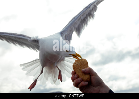 herring gull (Larus argentatus), feeding from a piece of bread out of somebodies hand on the fly, Norway, Trondelag, - Stock Photo
