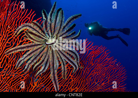 A crinoid on a bright red sea fan with diver in the background, Solomon Islands. - Stock Photo