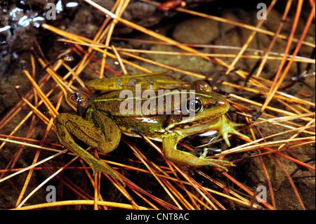 Greek March Frog (Pelophylax kurtmuelleri, Rana kurtmuelleri, Rana balcanica), sitting in a pond, Greece, Peloponnes, - Stock Photo