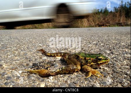 Greek March Frog (Pelophylax kurtmuelleri, Rana kurtmuelleri, Rana balcanica), killed frog on a street, Greece, - Stock Photo