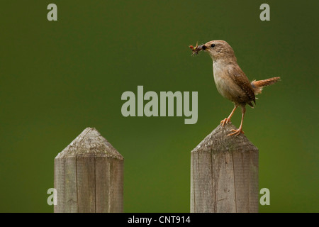winter wren (Troglodytes troglodytes), sitting on a fence post with collected insects in the bill, Germany, Rhineland - Stock Photo