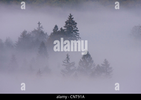 Norway spruce (Picea abies), spruce forest in thick fog, Germany, Rhineland-Palatinate - Stock Photo
