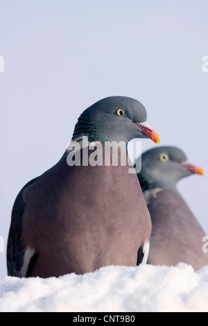 wood pigeon (Columba palumbus), two birds sitting side by side on snow, Germany - Stock Photo
