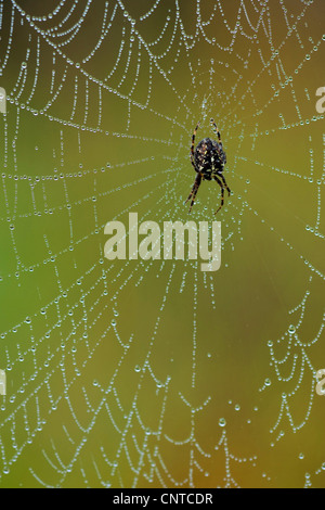 cross orbweaver, European garden spider, cross spider (Araneus diadematus), sitting in the middle of her web covered - Stock Photo