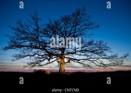 Beautiful oak tree at dusk in Råde, Østfold fylke, Norway. - Stock Photo