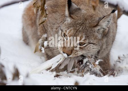 Eurasian lynx (Lynx lynx), feeding on a pheasant, Germany - Stock Photo