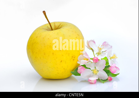 Apple and Flower Blossom - Stock Photo