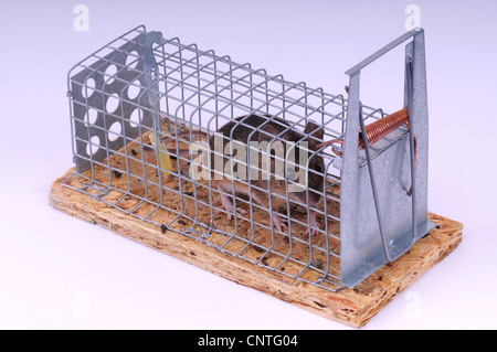 house mouse (Mus musculus), in a mousetrap - Stock Photo