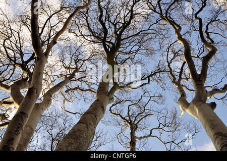 common beech (Fagus sylvatica), tree top, Germany, Mecklenburg Vorpommern, Western Pomerania Lagoon Area National - Stock Photo