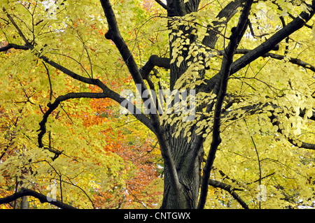 basswood, linden, lime tree (Tilia spec.), tree top in autumn, Germany - Stock Photo