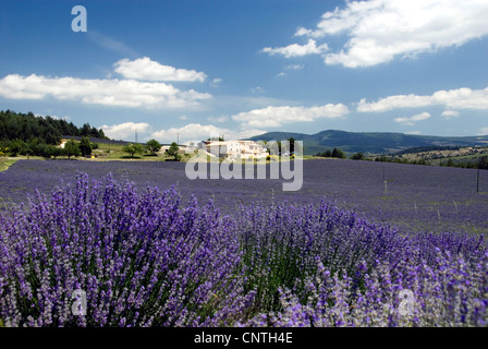 lavender (Lavandula angustifolia), lavender field near Sault, France, Provence - Stock Photo