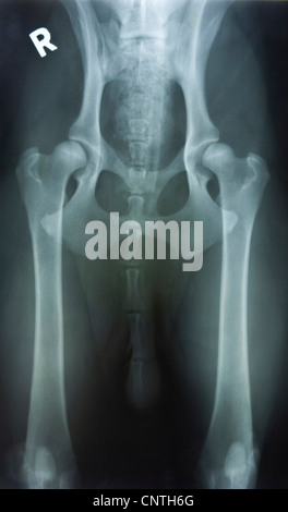 domestic dog (Canis lupus f. familiaris),  X-ray image of hip dysplasia - Stock Photo