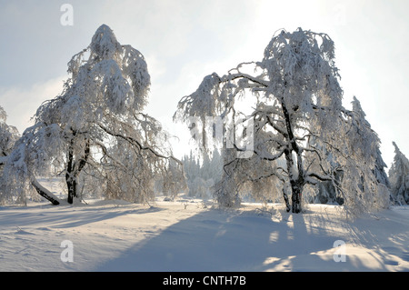 common birch, silver birch, European white birch, white birch (Betula pendula, Betula alba), snow covered landscape - Stock Photo